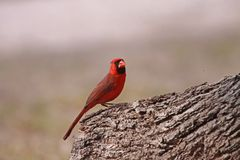 Northern Cardinal Stock Image