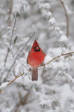 Northern Cardinal Royalty Free Stock Photography