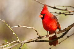 Northern Cardinal. Full Frontal View of Adult Male Northern Cardinal Perched on Tree Branch stock photos