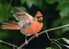 Northern Cardinal. A male Northern Cardinal is landing on a maple tree branch Stock Photos