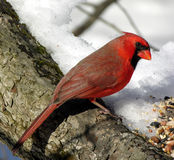 Northern Cardinal 2. Northern Cardinal perched on a tree looking at bird seed royalty free stock image