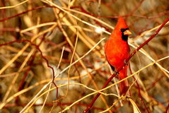 Northern Cardinal. A male northern cardinal sits in a thicket of branches Royalty Free Stock Image