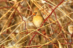 Northern Cardinal. A female northern cardinal sits in a thicket of branches Royalty Free Stock Photos