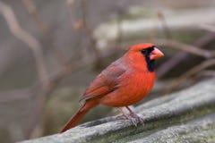 Northern Cardinal. Perched on a log - Cardinalis cardinalis Royalty Free Stock Images
