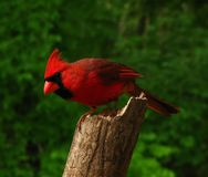 Northern Cardinal. On a perch Royalty Free Stock Photo