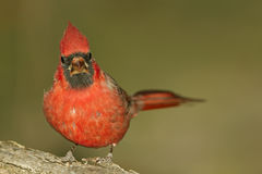Northern Cardinal Royalty Free Stock Photos