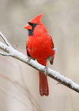 Northern Cardinal. A Red Bird, The Northern Cardinal Male In Winter, Cardinalis cardinalis Stock Images