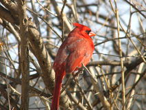 Northern Cardinal - 3. A male northern cardinal perched on a branch royalty free stock photography