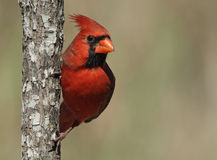 Free Northern Cardinal Stock Images - 3664904