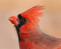 Northern Cardinal Royalty Free Stock Image