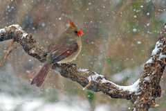 Northern Cardinal Snow Stock Photos