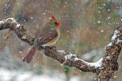 Northern Cardinal Snow Stock Photos