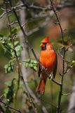 Northern Cardinal. (Cardinalis cardinalis cardinalis) perched in tree Royalty Free Stock Photography