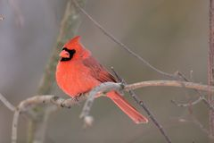 Northern Cardinal. On a branch in fall/winter Stock Image