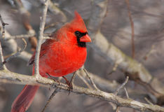 Northern Cardinal. Photograph of a beautiful male Northern Cardinal during a midwest winter Stock Photos