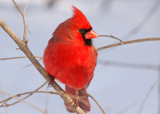 Northern Cardinal. Photograph of a beautiful male Northern Cardinal during a midwest winter Royalty Free Stock Image