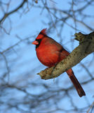 Northern Cardinal. Perche on a tree branch royalty free stock image