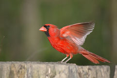 Northern Cardinal Stock Photos