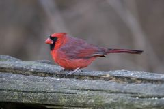 Northern Cardinal bird. Side view of northern cardinal bird with red plumage on trunk or log royalty free stock images