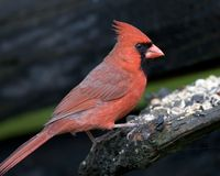 Northern Cardinal bird Stock Images