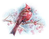 Northern cardinal bird drawing. Isolated cardinal bird drawing - red bird sitting on a tree branch with red berries opposite blue sky Stock Photography