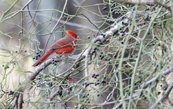 Northern Cardinal bird eating Greenbriar berries in winter, Georgia, USA. Red male Northern Cardinal songbird in briars. Photographed on four days of birding in royalty free stock photos