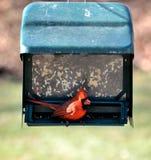 Northern cardinal. At a bird feeder Stock Image
