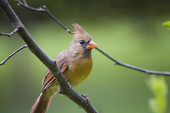 Northern Cardinal bird Female Royalty Free Stock Images