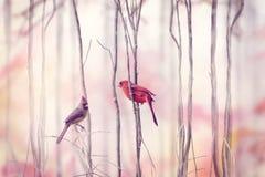 Northern Cardinal Birds Stock Photography
