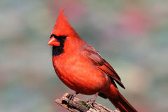 Northern Cardinal On A Branch Stock Image