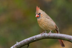 Northern Cardinal. On a branch royalty free stock photography