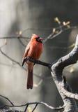 Northern cardinal (Cardinalis cardinali Royalty Free Stock Photography