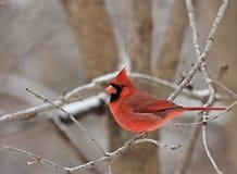 Northern Cardinal (Cardinalis cardinalis). Male northern cardinal (Cardinalis cardinalis) perched on a branch Royalty Free Stock Photography