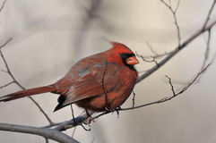 Northern Cardinal: Cardinalis cardinalis Stock Photo