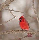 Northern Cardinal (Cardinalis Cardinalis) Royalty Free Stock Photos