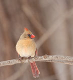 Northern Cardinal, Cardinalis cardinalis Stock Photo