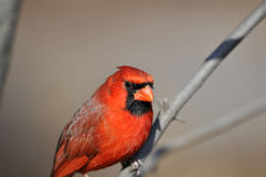Northern Cardinal: Cardinalis cardinalis Royalty Free Stock Photos