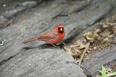 Northern Cardinal: Cardinalis cardinalis Stock Images