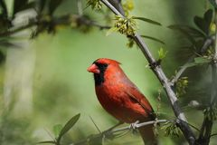 Northern Cardinal: Cardinalis cardinalis Stock Photography