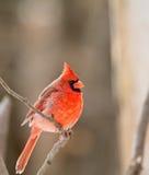 Northern Cardinal, Cardinalis cardinalis Stock Image