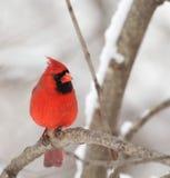 Northern Cardinal, Cardinalis cardinalis. Male northern cardinal, Cardinalis cardinalis, perched on a tree branch Royalty Free Stock Images