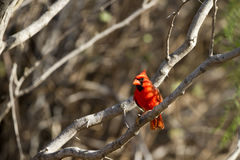 Northern Cardinal, Cardinalis cardinalis Royalty Free Stock Photos