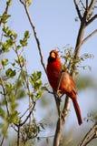 Northern Cardinal, Cardinalis cardinalis Royalty Free Stock Image