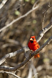 Northern Cardinal, Cardinalis cardinalis Royalty Free Stock Images