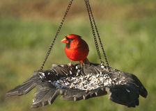 Northern Cardinal - Cardinalis cardinalis. This is a beautiful Northern Cardinal, Cardinalis cardinalism that was visiting our bird feeder stock images