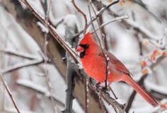 Northern Cardinal, Cardinalis cardinalis. On a tree branch with snowy background Stock Photos