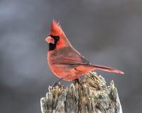 Northern Cardinal (Cardinalis cardinalis) Stock Image