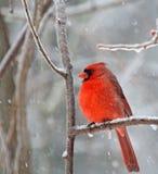 Northern Cardinal, Cardinalis cardinalis. Male northern cardinal, Cardinalis cardinalis perched on a tree branch with snow falling Stock Image