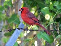 Northern Cardinal Cardinalis cardinalis Stock Photos