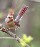 Northern Cardinal, Cardinalis cardinalis Royalty Free Stock Photography